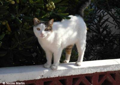 Katze auf Lesbos, kastriert, zu erkennen an der abgeschnittenen Ohrspitze