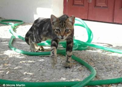 Junge Katze, kastriert