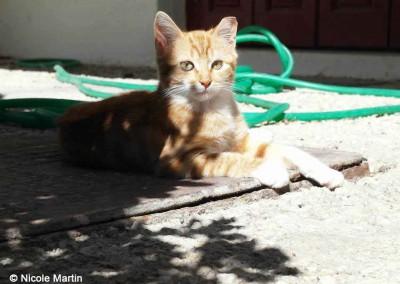 Junge Katze, kastriert, zu erkennen an der abgeschnittenen Ohrspitze