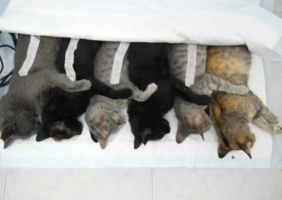 Fertig und schön auf einer Wärmematte liegend bis sie wach werden. Die Klebis auf den Katzen sind dort drauf, damit man weiß woher sie sind. Dann können sie wieder genau in die Kolonie zurück gesetzt werden, aus der sie stammen.